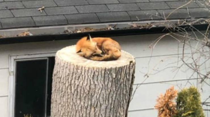 La volpe che dorme (Foto Twitter)