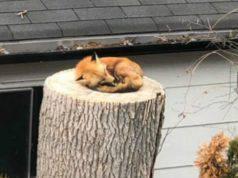 La volpe sul tronco (Foto Twitter)