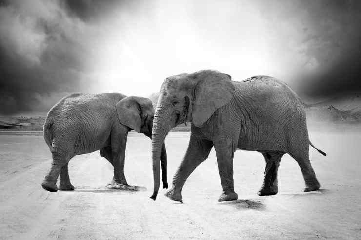 Due elefanti (Foto Pixabay)