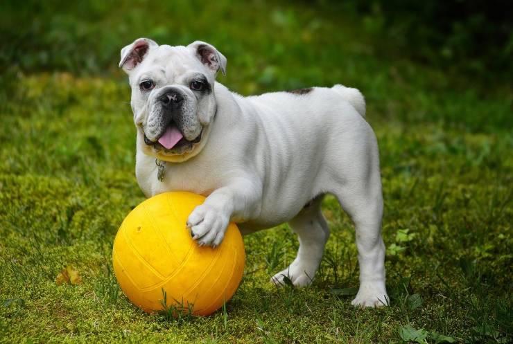 cane palla bulldog