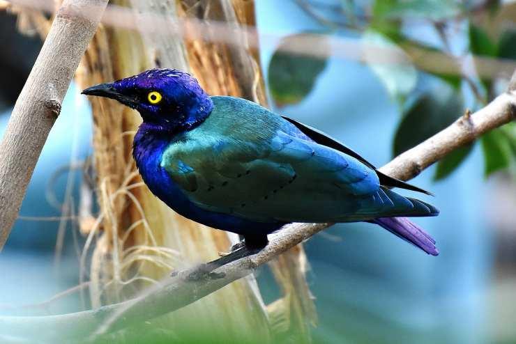 passerotto colorato (Foto Pixabay)