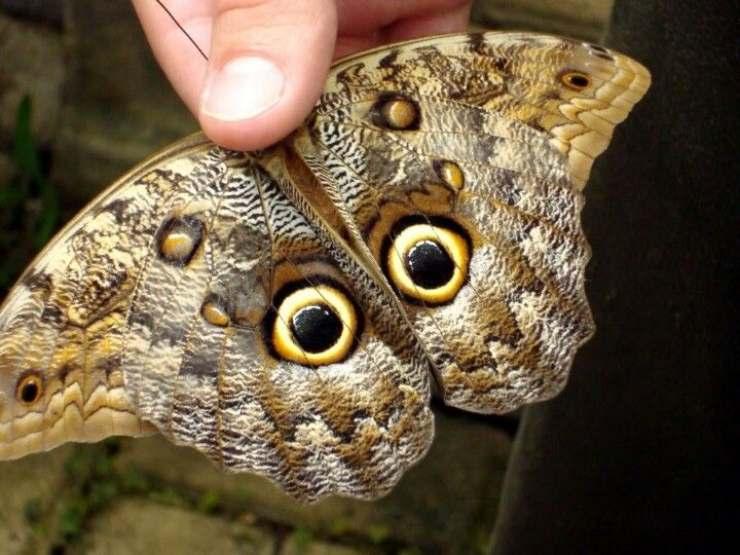 falena gufo farfalla