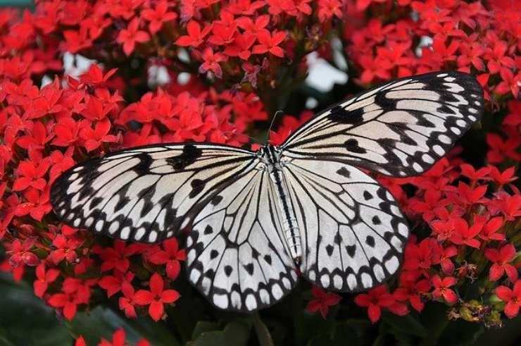 perche le ali delle farfalle sono colorate e disegnate