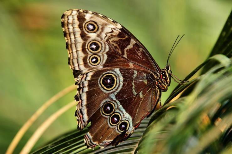 farfalla occhi di gufo