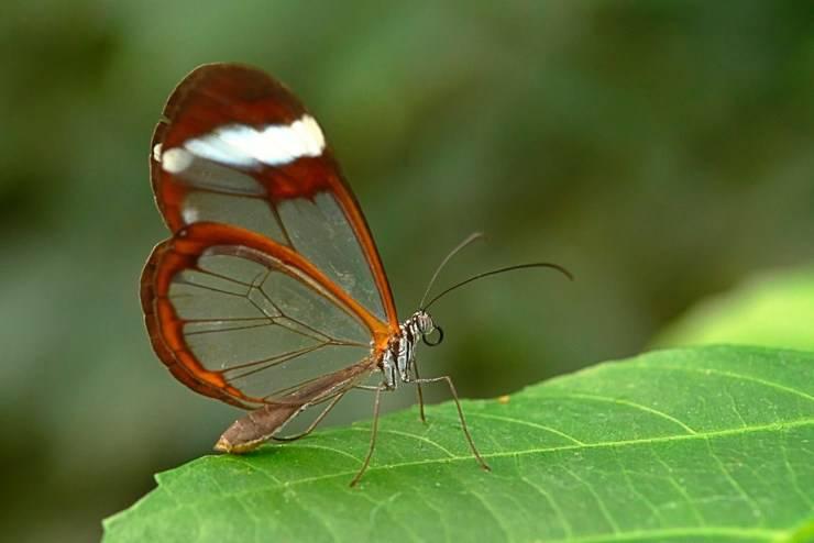 farfalla ali vetro animali fantastici