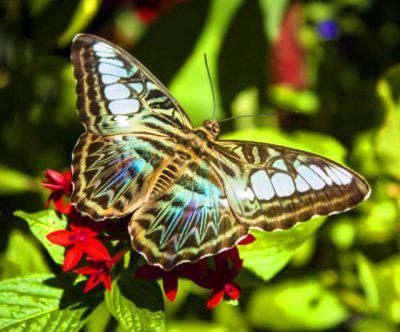farfalla tagliatore