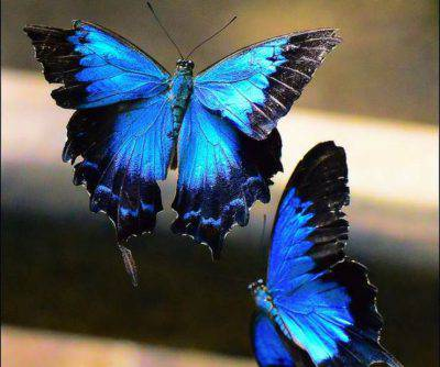 farfalla ulisse