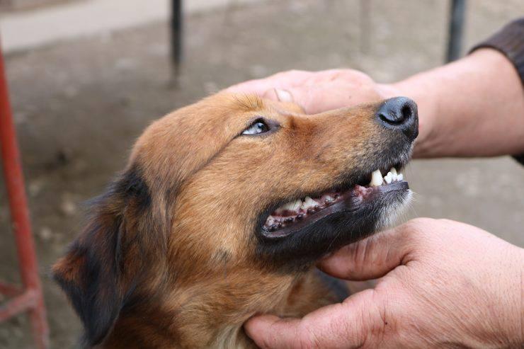 Pulire i denti del cane anziano