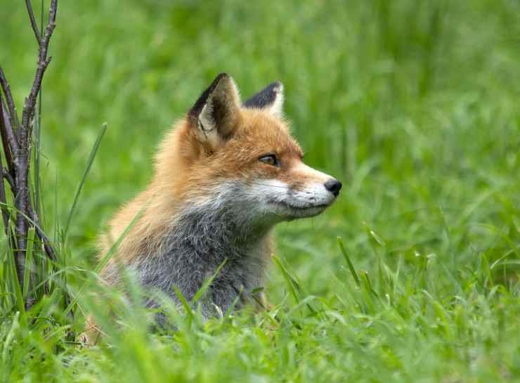 Le caratteristiche della volpe (Foto Pixabay)