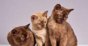 Razze di gatti con le orecchie piccole