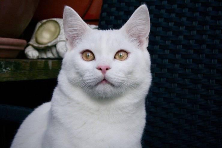 gatto bianco