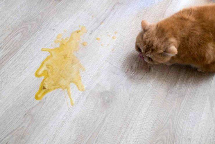 vomito del gatto
