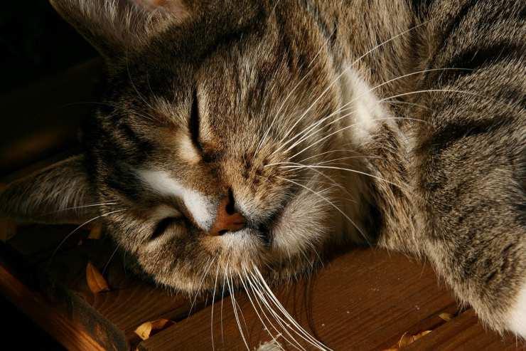 tumore nella pelle del gatto