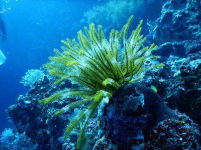 corallo barriera coralli
