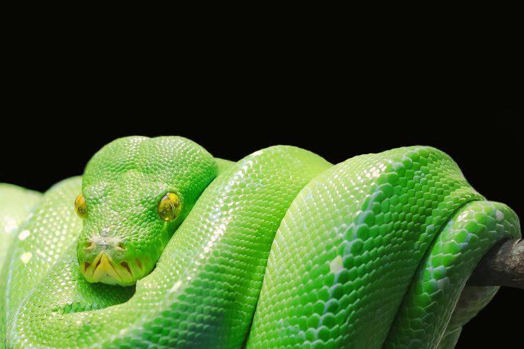 serpente verde boa