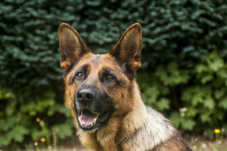 L'intelligenza del cane poliziotto (Foto Pixabay)