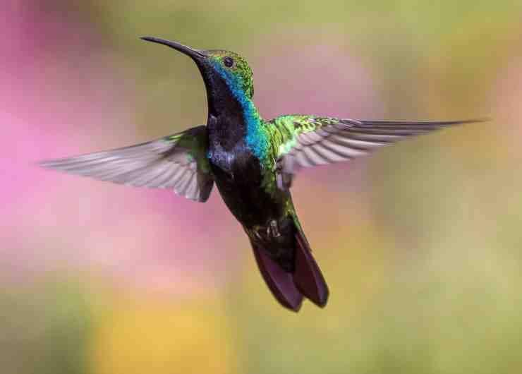 Colibrì in volo (Foto Pixabay)