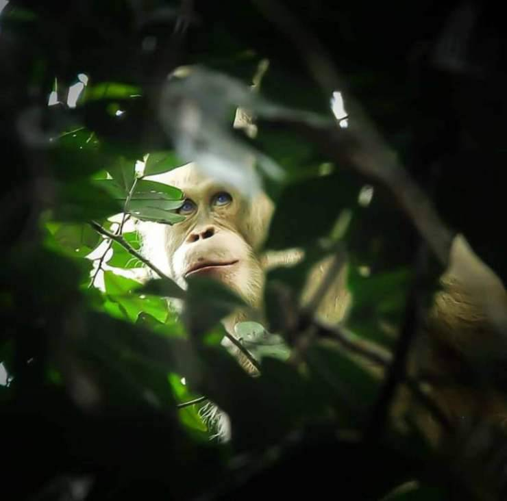 L'orango albino (Foto Instagram)