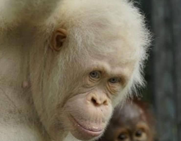 La dolcezza dell'orango (Foto Instagram)