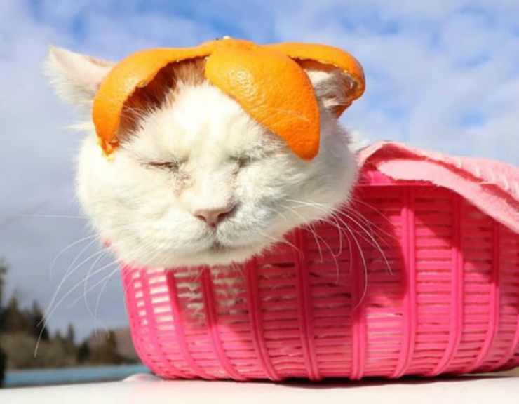 Il gatto famoso sui social (Foto instagram)