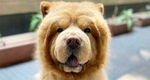 Chow chow in primo piano (Foto Instagram)