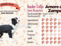 infografica cane border collie