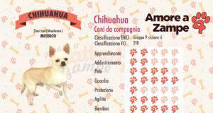 infografica cane chihuahua