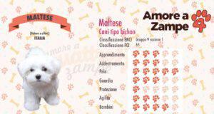 infografica cane MALTESE new