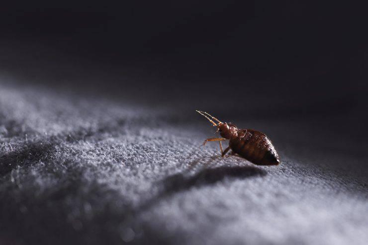 Come trattare le pulci