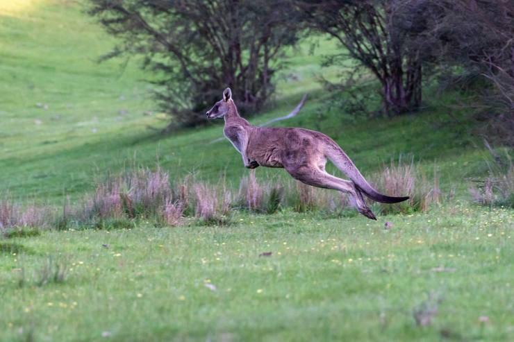 Il canguro dal passo veloce (Foto Pixabay)