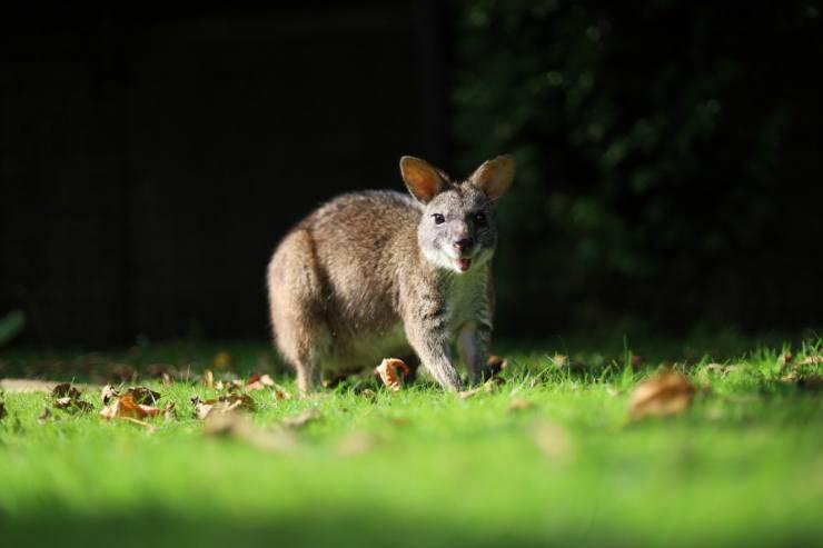 Il canguro furbo (Foto Pixabay)