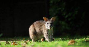 Il canguro che non vuole essere scoperto (Foto Pixabay)