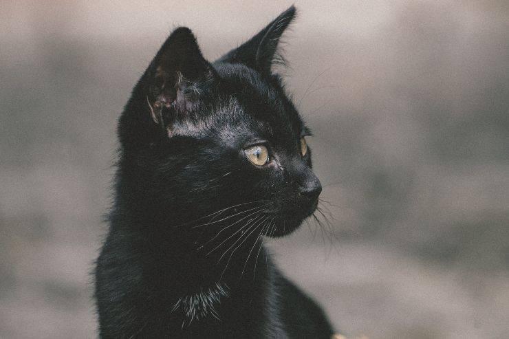 Significato del colore nero del gatto