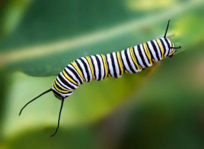 larva monarca