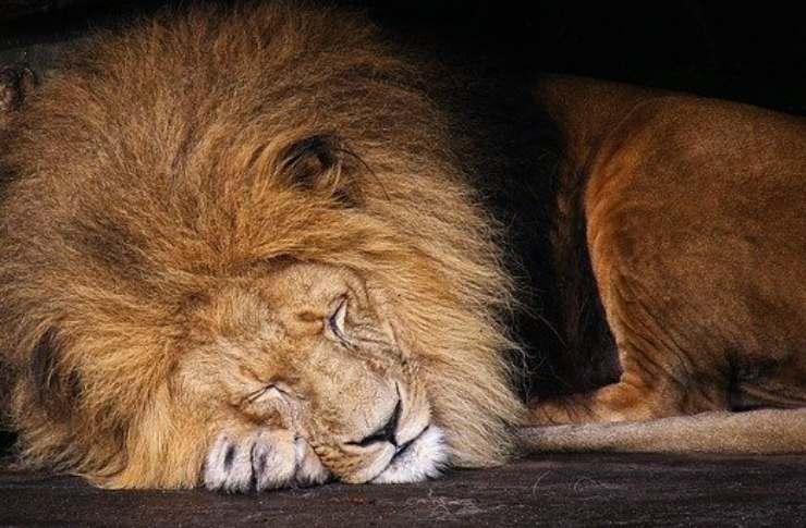 leone dorme