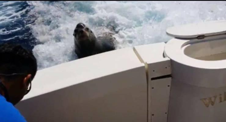 Leone marino insegue la barca