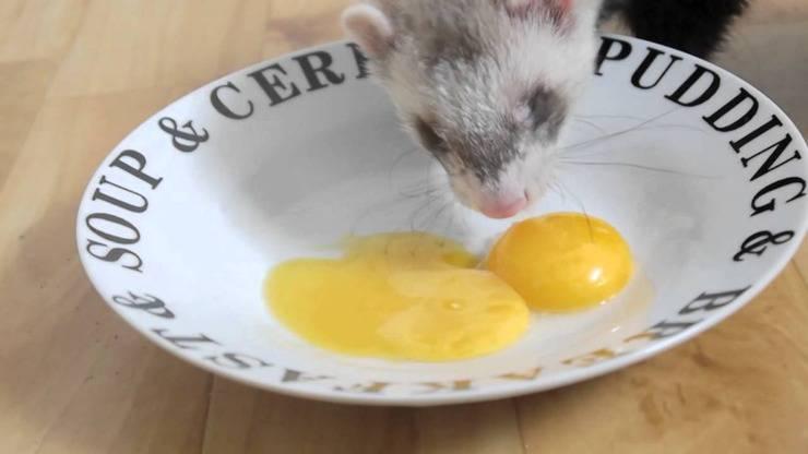 furetto uova crude