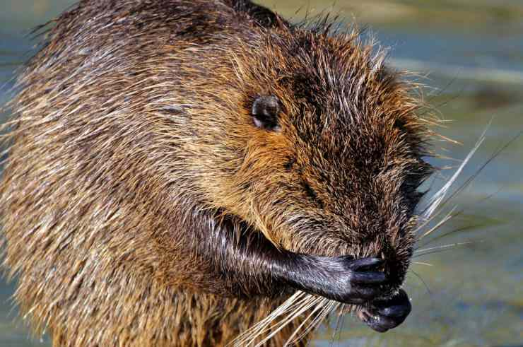 Nutria come animale domestico