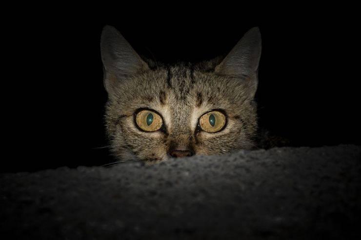gli occhi del gatto brillano al buio