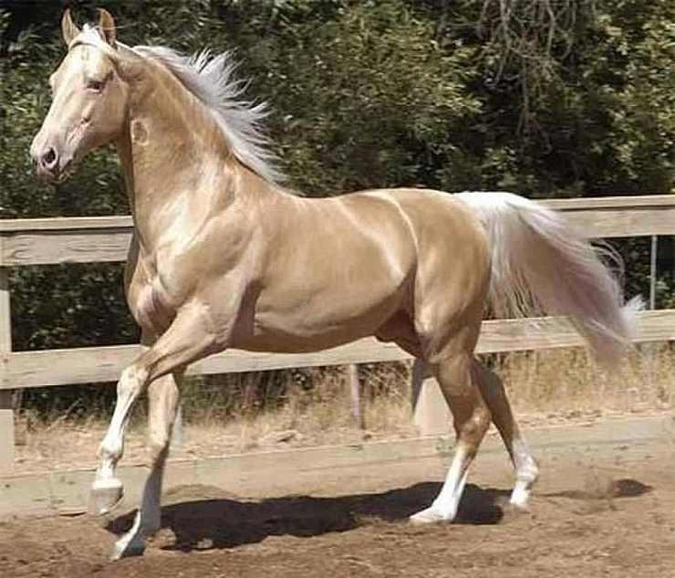 cavalli biondi palomino