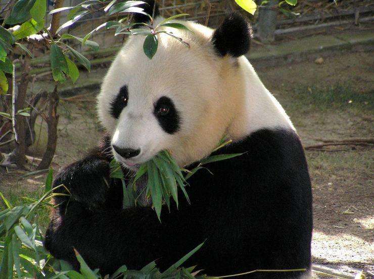 panda - bambù