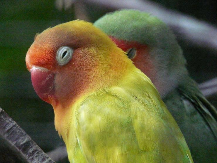 pappagallo inseparabile