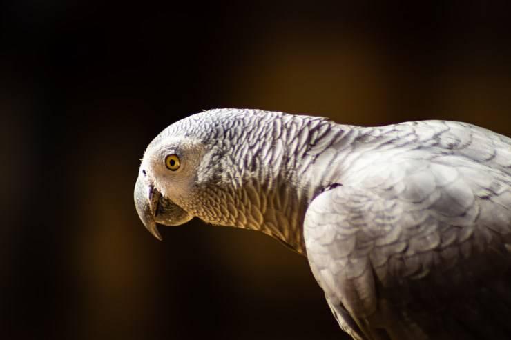 Zittire un pappagallo