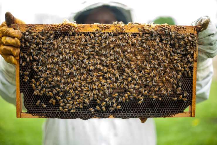 api miele alveare