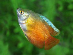 Pesce Colisa