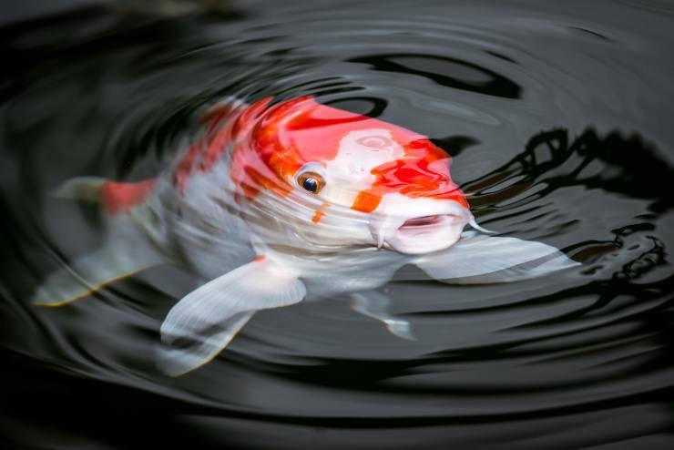 pesce grasso
