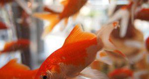 Come capire se il pesce rosso è felice