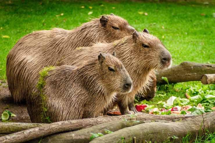 capibara animali strani
