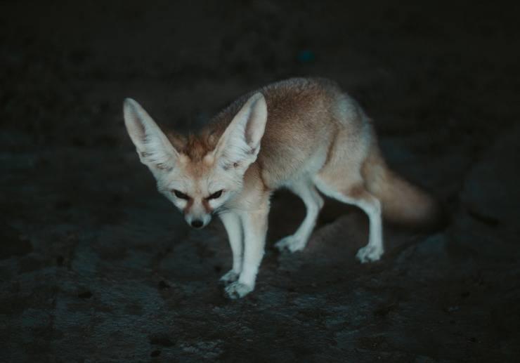 volpe fennec fox