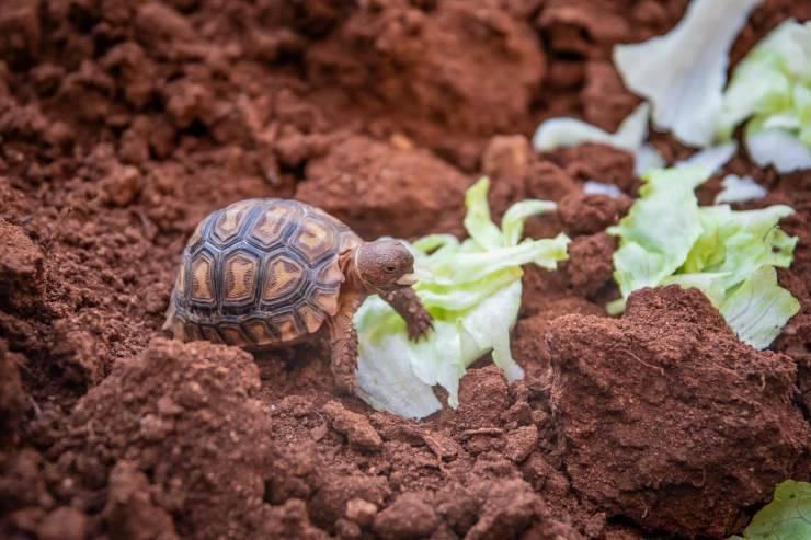 tartaruga terra insalata